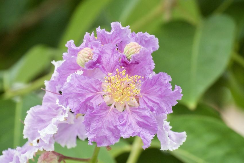 Giant Crape-myrtle Lagerstroemia Speciosa Myrtle Beauty In Nature Blooming Close-up Day Flower Flower Head Fragility Freshness Growth Nature No People Outdoors Petal Plant