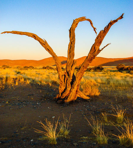 Sand Tranquility Tree Trunk Beauty In Nature Tree Desert Arid Climate Remote Namib Dunes Landscape Dry Arid Landscape Namibia Namib Desert Morning Light Sand Dune Nature Tranquil Scene