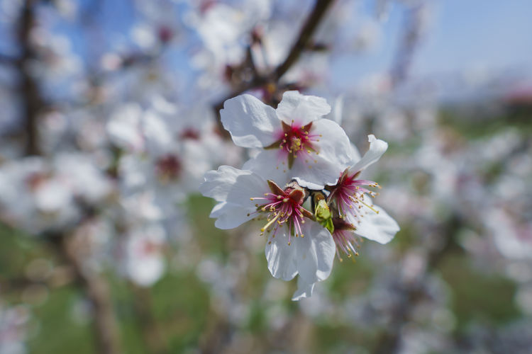 Flower Flowering Plant Fragility Freshness Plant Vulnerability  Beauty In Nature Growth Petal Blossom Close-up Cherry Blossom Tree Nature Springtime Pollen Inflorescence Day Fruit Tree No People Flower Head Cherry Tree Outdoors Spring