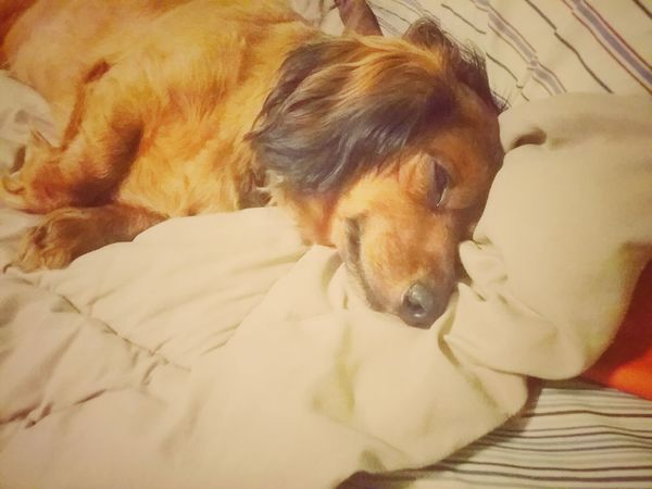 One Animal Pets Dog Of The Day Dog❤ Animal Lying Down Dog Photos Official EyeEm © Summer 2016 Dachshundsofeyeem Dogs Of EyeEm Animal Themes Comfortable Doxie Sleeping Dog No People Color Palette Dog Photography Brown Bed