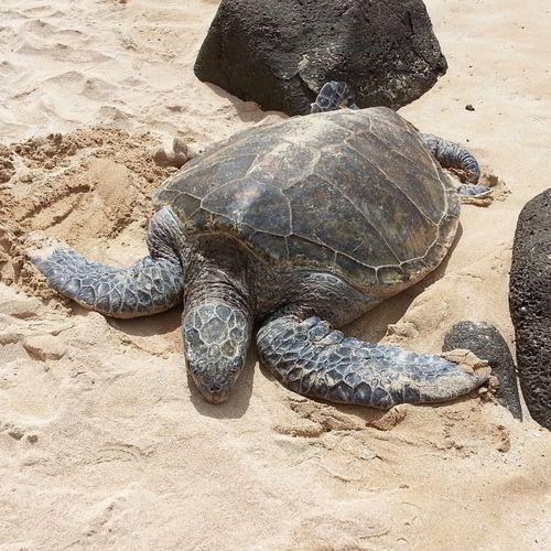 Turtle Laniakea Hawaii Animal Photography