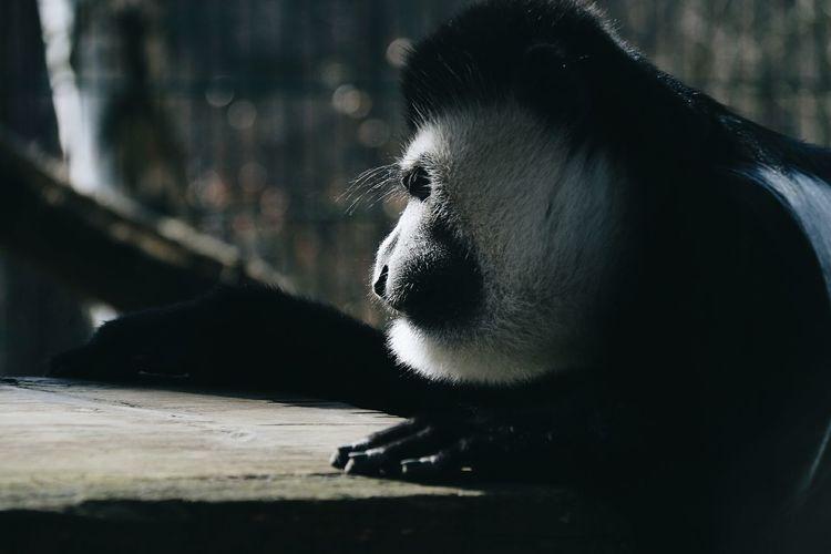 Black and White Colobus Animals In The Wild Colobus Monkey Primates Monkeys Outdoors The Weekend On EyeEm Natural Light EyeEm Nature Lover EyeEm The Portraitist - 2017 EyeEm Awards