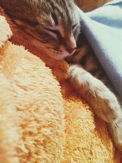 Relaxing Kitten Egyption Mau Cat Enjoying Life
