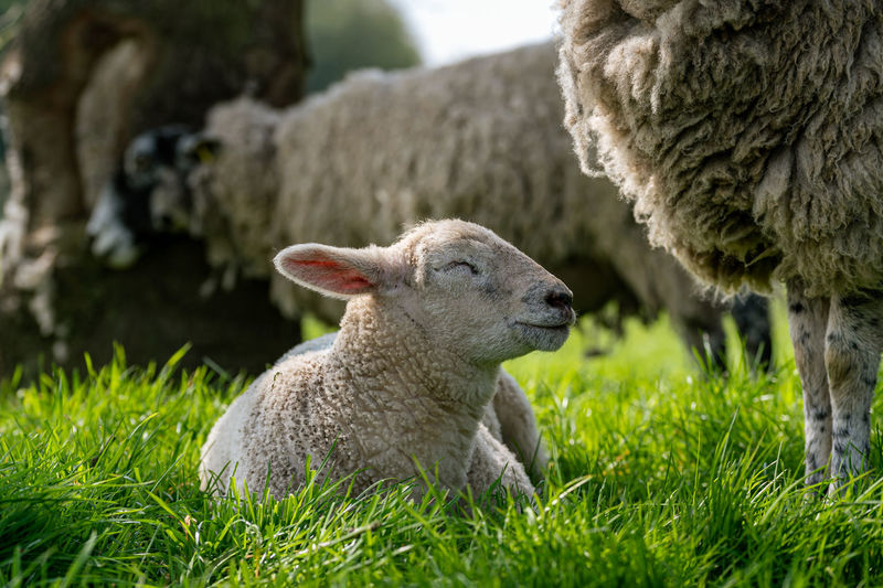 Newborn lambs and sheep in a meadow