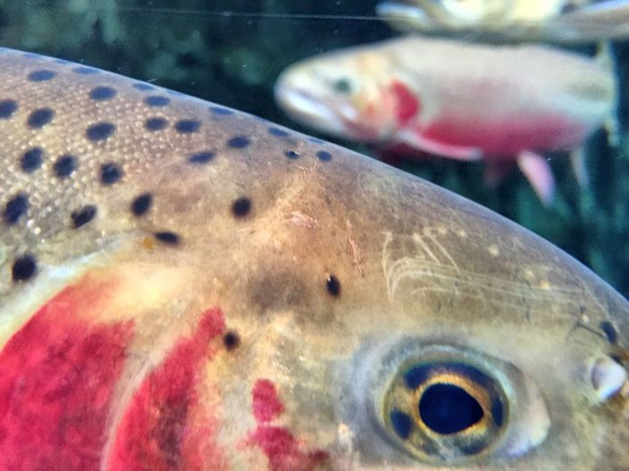 Animal Themes Fish Swimming Close-up Sea Life Aquarium Underwater Spotted No People Water Indoors  Day UnderSea Marine Biology Trout Cutthroat Cutthroattrout Nature Biology EyeEm Best Shots EyeEm Nature Lover EyeEm Gallery