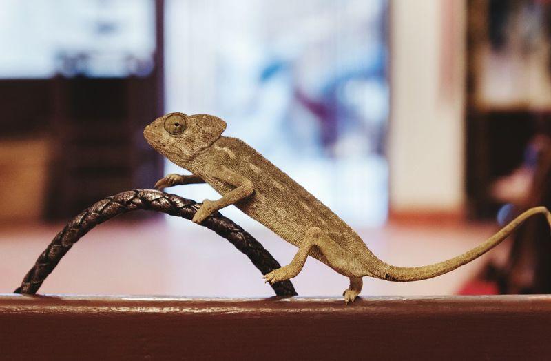 Close-up of chameleon on wood