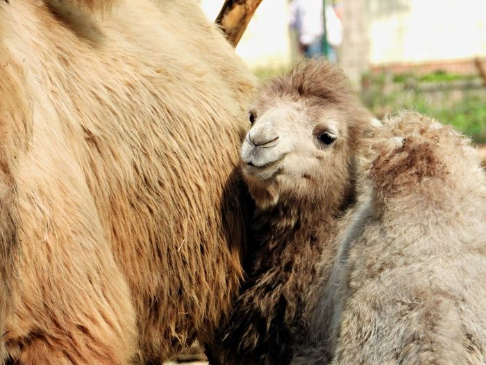 Animal Animal Themes Mammal Group Of Animals Two Animals Animal Wildlife Animals In The Wild Close-up Young Animal No People Livestock Togetherness Domestic Animals Animal Hair Animal Body Part Animal Head  Animal Family Outdoors Focus On Foreground Camel Baby Camel
