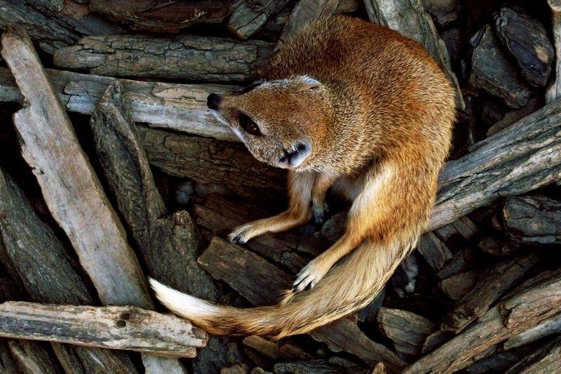 High angle view of a jackal on logs