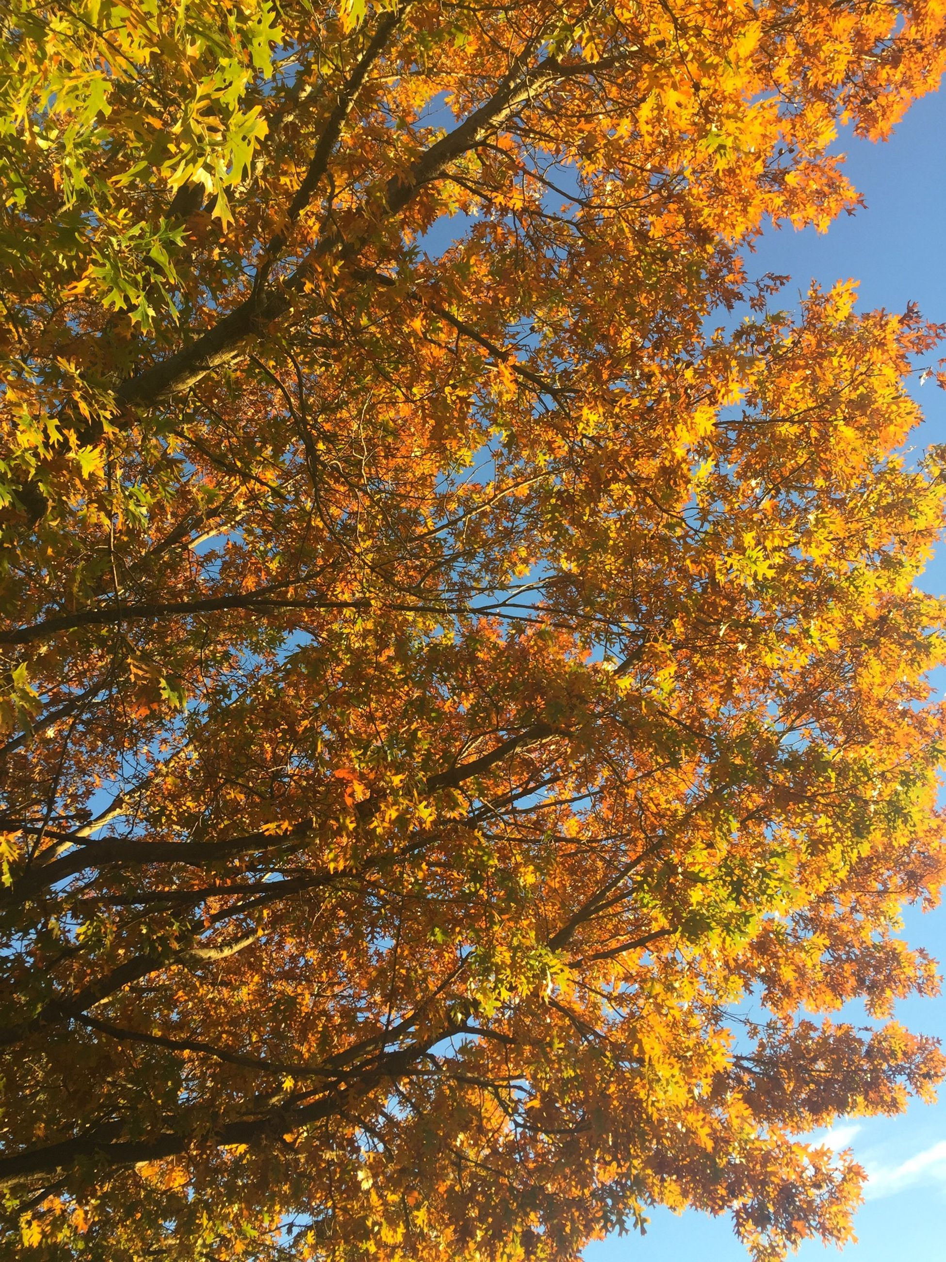tree, low angle view, autumn, branch, change, yellow, growth, season, nature, beauty in nature, leaf, tranquility, clear sky, sky, orange color, day, outdoors, no people, scenics, sunlight