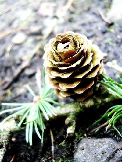 Pinecone Pine Leaves Forest Delamereforest Delamere Into The Woods Woodlands Cheshire United Kingdom England