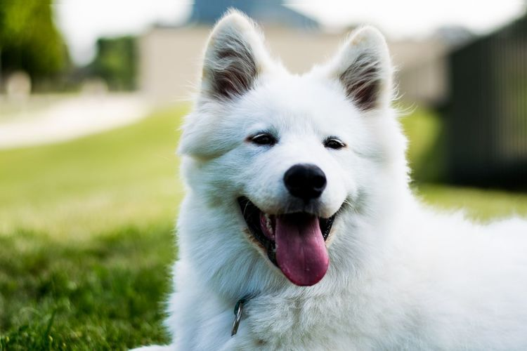 Close-up portrait of white dog on field