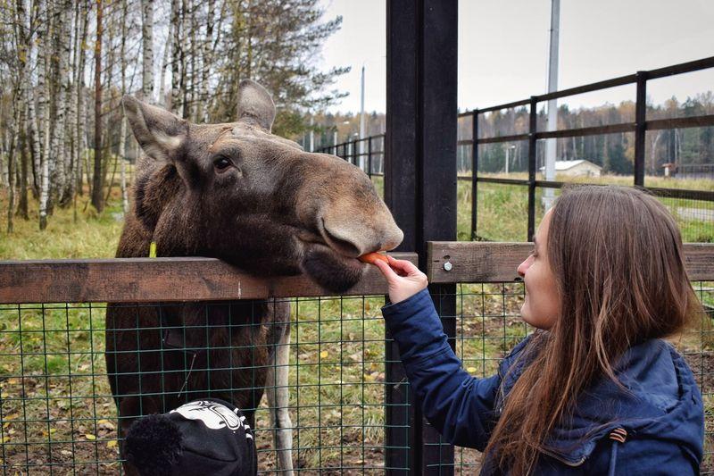 Woman Feeding Moose By Fence