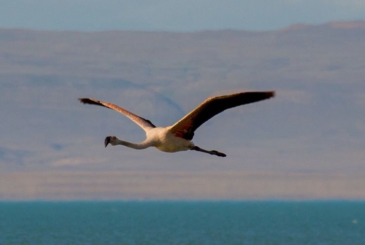 Peaceful flight. Lagunanimez ElCalafate Argentina Flamingo Argentina Photography Nature Animal Patagonia Patagonia Argentina