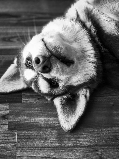 Puppy Siberian Husky Dog Huskyphotography Siberian Husky Husky Siberian Husky Puppy Black & White One Animal Animal Themes Mammal Animal Domestic Pets Domestic Animals Close-up Dog Animal Body Part Animal Head  Indoors  Canine No People Wood - Material Relaxation