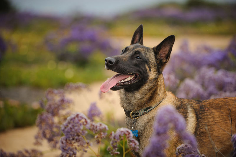 Side view of belgian malinois panting while standing on field