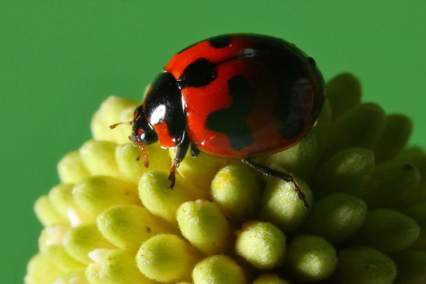 Ladybug Animal Animal Themes Animal Wildlife Animals In The Wild Backgrounds Beauty In Nature Beetle Close-up Flower Flowering Plant Fragility Green Color Insect Invertebrate Ladybug Macro Nature One Animal Plant Red Vulnerability