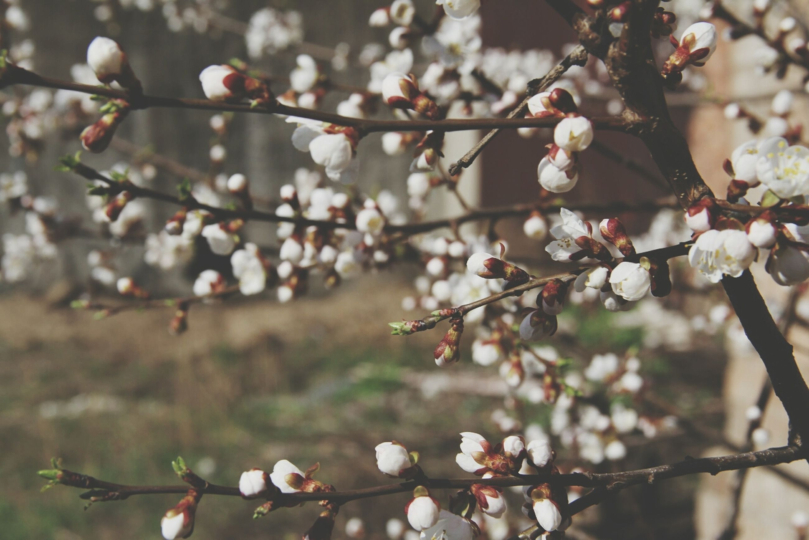 branch, flower, growth, focus on foreground, tree, freshness, nature, beauty in nature, twig, fragility, close-up, blossom, cherry blossom, cherry tree, springtime, bud, outdoors, selective focus, blooming, low angle view