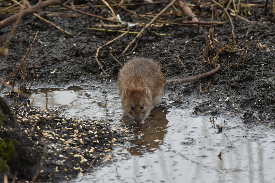 brown rat Animal Themes Animals In The Wild One Animal Animal Wildlife High Angle View No People Water Outdoors Nature Mammal Close-up Day Nature Reserve Wildlife Photography Rat Rodent Sigma150-600c NikonD5500