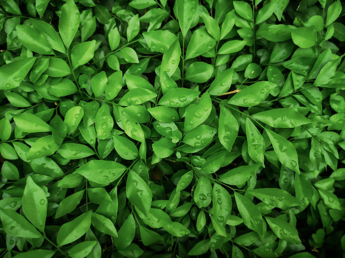 Orange jasmine leaf background.Green and black nature background. Full Frame Green Color Backgrounds No People Close-up Abundance Food And Drink Leaf Plant Part Freshness Growth Plant Large Group Of Objects Day High Angle View Food Beauty In Nature Nature Directly Above Vegetable Leaves