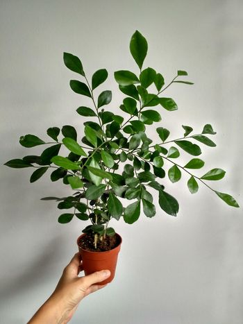 Murraya young plant in flowerpot, greenery houseplant holding in hand in vertical orientation. Murraya Flowerpot Human Hand Hand Holding Plant Unrecognizable Person Nature Personal Perspective Houseplant Greenery Foliage Leaves Green