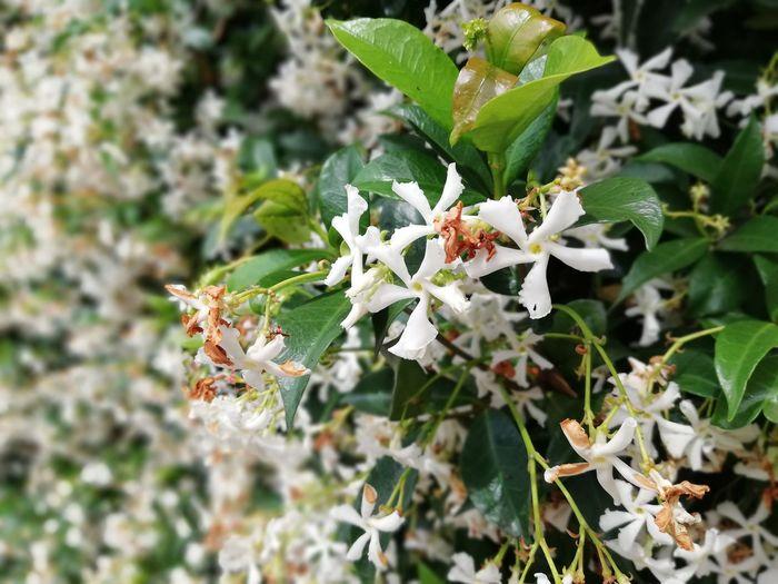 Jasmine Iasomie Leaf Close-up Animal Themes Plant Green Color Pollen EyeEmNewHere