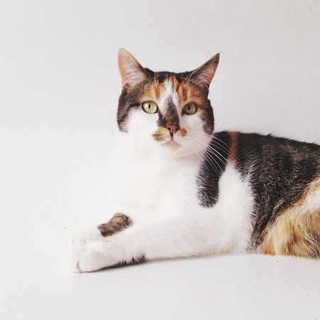 Calico Calico Cat Calicocat Cat Cat Lovers Cats Of EyeEm Catsofinstagram Catsoftheworld Cute Cats Indoors  Pet Pet Photography  Pets