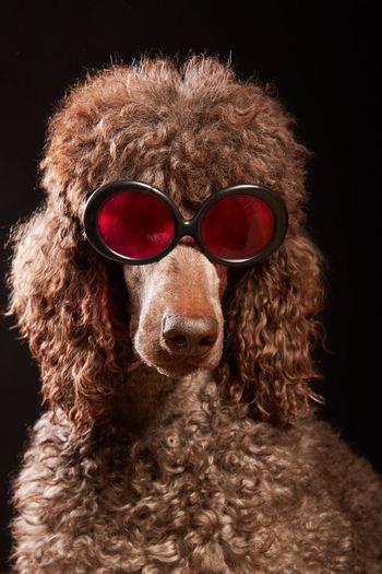 Close-up of dog wearing sunglasses against black background