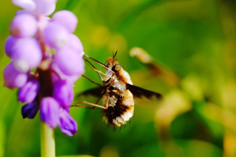 Wollschweber Flying In Motion Summer ☀ Nectar Flower Insect Spider Purple Close-up Animal Themes Plant Pollination Symbiotic Relationship Animal Antenna Animal Leg