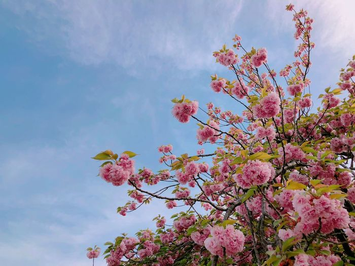 cherryblossom, spring Flower Flowering Plant Plant Pink Color Low Angle View Sky Beauty In Nature Blossom Springtime First Eyeem Photo