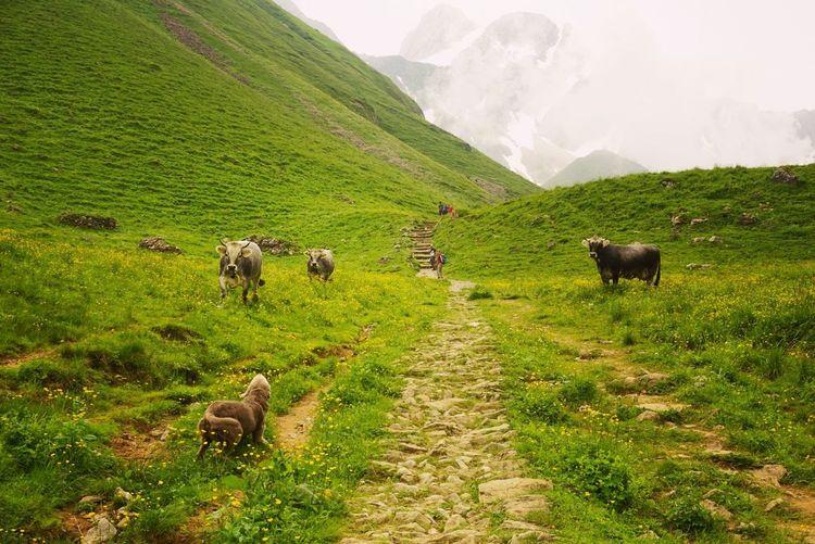 Cattle on lush foliage landscape