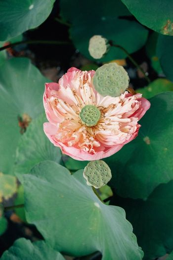 Lotus Flower Flowering Plant Plant Beauty In Nature Growth Petal Freshness Pollen