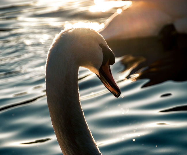 Close-up of swan swimming in lake haloed in sunlight