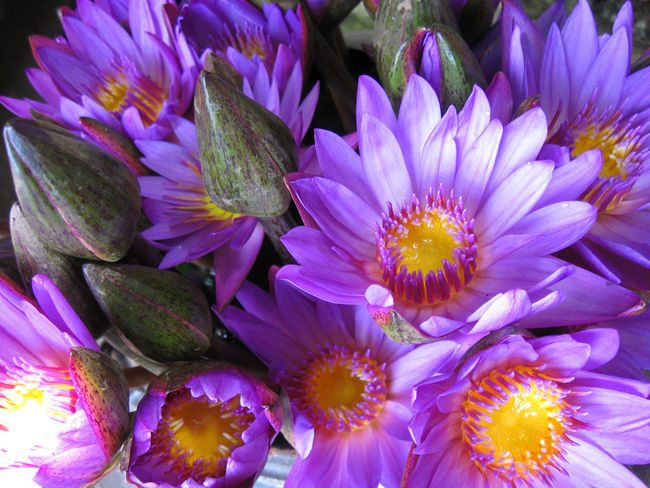 Blooming Close-up Flower Flower Head Fragility Freshness Growth Petal Purple Purple Flower Yellow Centered Flowers