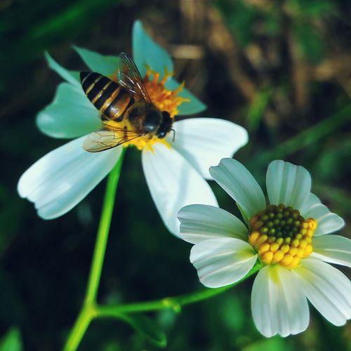 Flower Nature Macro Honey Beeandflower HoneyBee Leaf Bee Morning Nature's Diversities The Great Outdoors - 2016 EyeEm Awards