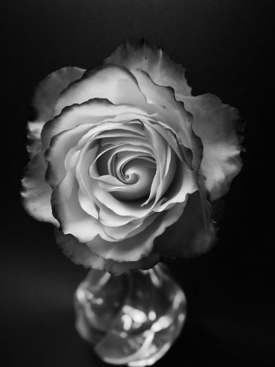 Black and white rose Black And White Rose🌹 Roses🌹 Stunning Black And White Rose Tequila Sunrise Flower Head Flower Black Background Petal Rose - Flower Peony  Studio Shot Rose Petals Close-up Plant