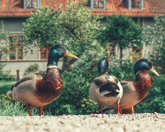2019 Niklas Storm Maj Bird City Feather  Duck Female Animal Animal Themes Close-up Mallard Duck Male Animal Water Bird Animal Crest My Best Photo The Street Photographer - 2019 EyeEm Awards