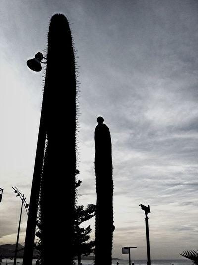Cactus Tocando El Cielo