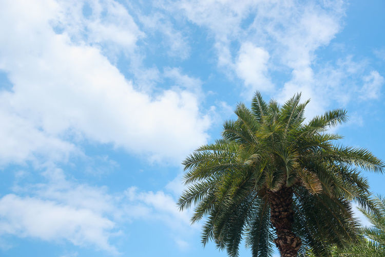 Palm Tree Sky Tree Tropical Climate Cloud - Sky Plant Low Angle View Growth Beauty In Nature Day No People Nature Tranquility Scenics - Nature Green Color Outdoors Blue Date Palm Tree Tall - High Sunlight Palm Leaf Tropical Tree Coconut Palm Tree Directly Below Copy Space