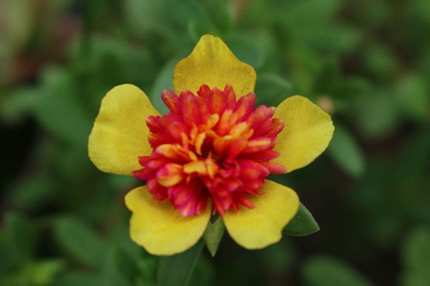 Flower Collection Flower Collection Flowers Flowers Flower Head Flower Flower Petal Nature Beauty In Nature Fragility Flower Head Yellow Plant Growth Focus On Foreground Blooming No People Freshness Red Close-up Zinnia  Outdoors Day