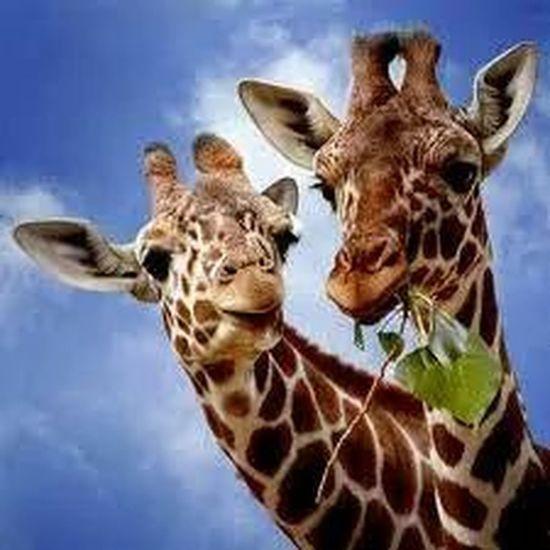 giraffen Photographing Wildlife