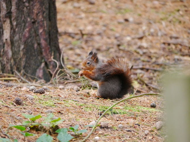 Red Squirrel Animal Themes Animal Wildlife Animals In The Wild Close-up Day Field Mammal National Trust 🇬🇧 Nature No People One Animal Outdoors Rodent Squirrel