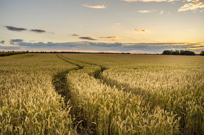Sunset_collection Agriculture Beauty In Nature Cereal Plant Cloud - Sky Crop  Environment Farm Field Grain Growth Land Landscape Nature No People Outdoors Plant Rural Scene Scenics - Nature Sky Sunset Tranquil Scene Tranquility Whey