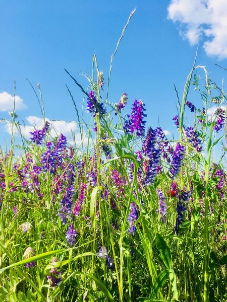 Wild blue flowers in green field Sky Sky And Clouds Clouds Clouds Flowering Plant Flower Plant Sky Growth Beauty In Nature Vulnerability  Field Blue Close-up Petal Purple Nature