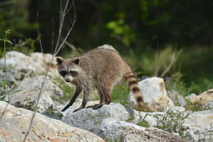 Raccoon on the rocks of the san Jacinto river in texas Animal Themes Animal Wildlife Animals In The Wild Day Forest Mammal Nature No People One Animal Outdoors Raccoon Raccoon Lover