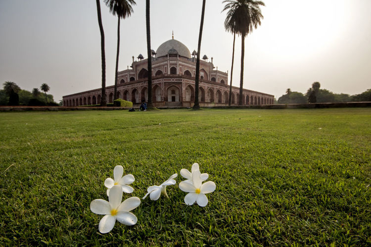 White flowers in lawn with building in background