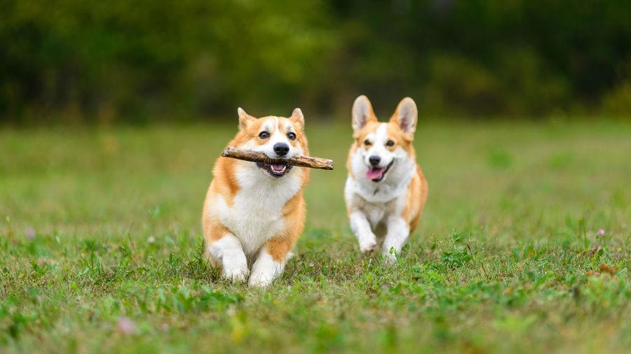View of dogs running on grassy field