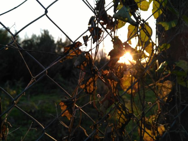 Fence Protection Safety Chainlink Fence Sunset Outdoors No People Nature Tranquility Sunlight Honor5x Beauty In Nature Growth Fragility Plant PhonePhotography Huawei Honor RomeSky Sun Day Tree Landscape Close-up Handmade For You Adapted To The City Paint The Town Yellow