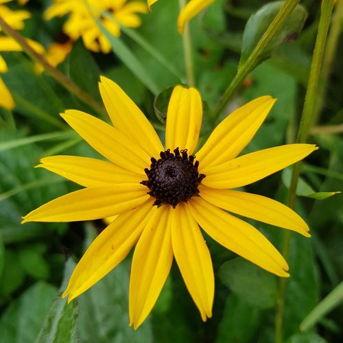 Burst of sunshine! Sunshine In A Flower EyeEm Best Shots EyeEm Nature Lover Eye4photography  EyeEm Gallery Eyem Gallery EyeEm Best Shots - Nature Eyem Nature Lover No Edit/no Filter Beauty In Nature Beautiful Nature Black-eyed Susan Plant Life Flowering Plant Pollen In Bloom