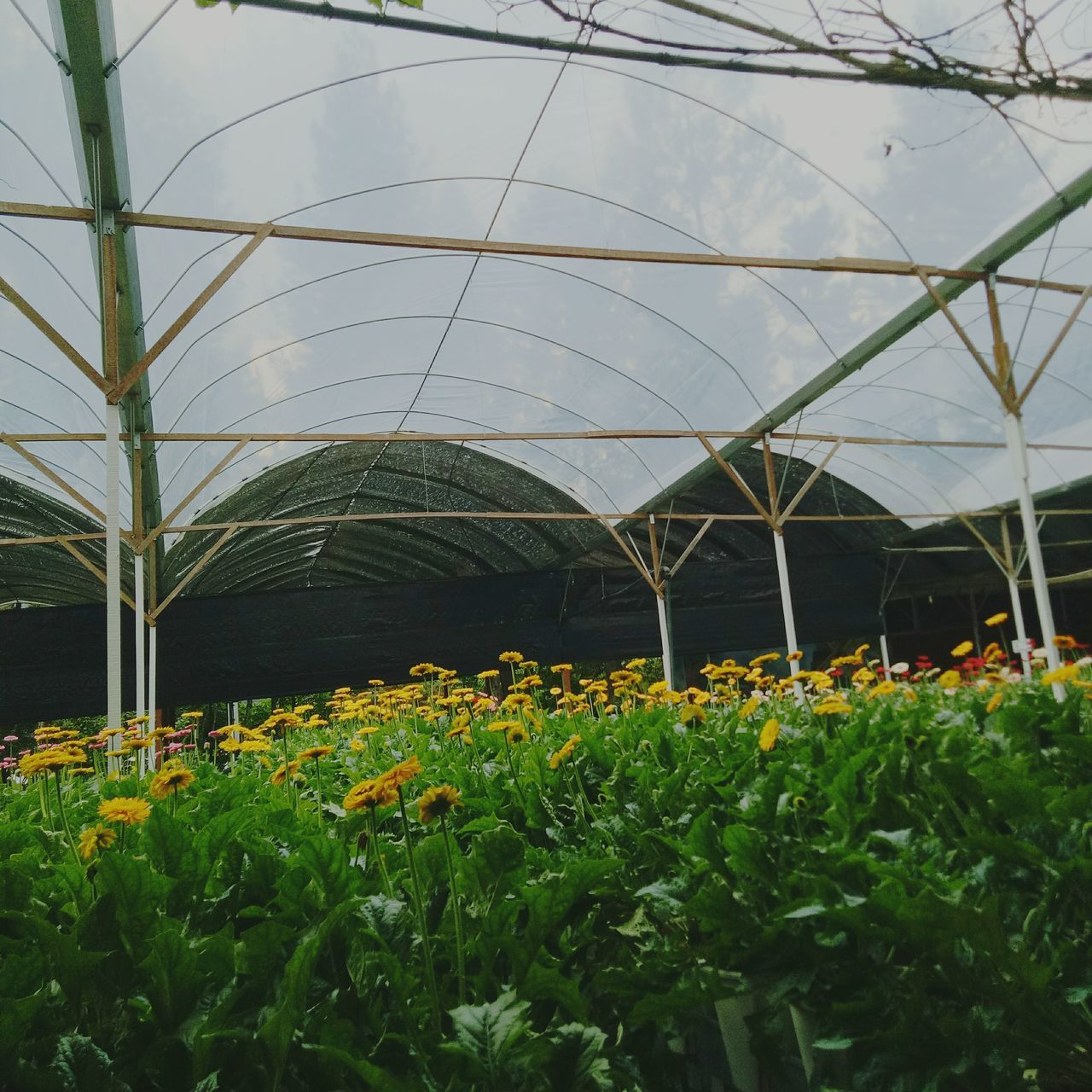 plant, growth, flower, greenhouse, green color, nature, plant nursery, indoors, beauty in nature, day, leaf, freshness, no people, fragility