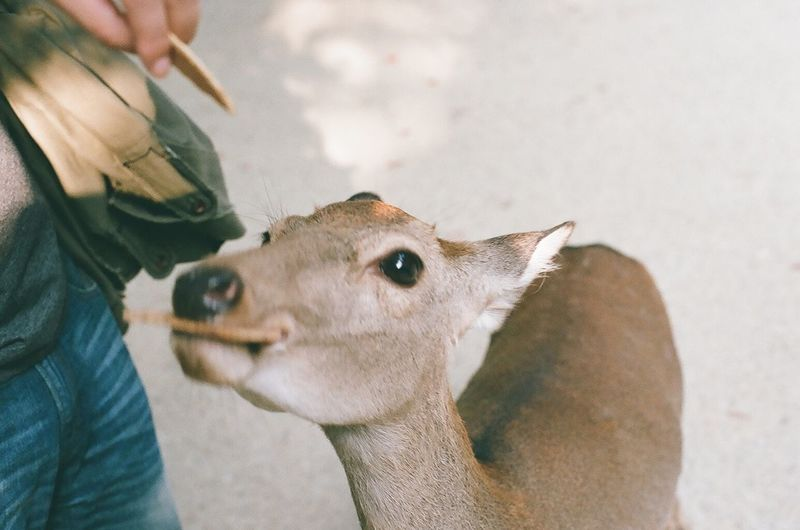 Cropped image of person feeding biscuits to deer at zoo